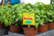 Farmers Markets Basil